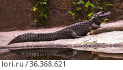 Dwarf-Crocodile-(Osteolaemus-letraspis). Стоковое фото, фотограф Horst Lieber / age Fotostock / Фотобанк Лори