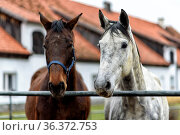 Horses on a paddock on farm in eastern Poland in Europe. Стоковое фото, фотограф Zoonar.com/OLIVER NOWAK / easy Fotostock / Фотобанк Лори