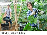 Woman harvesting fresh green cucumbers in farm glasshouse. Стоковое фото, фотограф Яков Филимонов / Фотобанк Лори