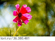 Purple Cosmos Flower Backlit by Evening Sun on Green Leaves Background. Стоковое фото, фотограф Zoonar.com/Andrey Omelyanchuk / easy Fotostock / Фотобанк Лори