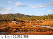 Herd of sheep in a mountain landscape in Setesdal Norway. Norwegian... Стоковое фото, фотограф Zoonar.com/Lillian Tveit / easy Fotostock / Фотобанк Лори