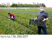 Farmer in medical mask harvesting red mustard greens. Стоковое фото, фотограф Яков Филимонов / Фотобанк Лори