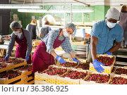 Farmers posing with cherry crates in the warehouse. Стоковое фото, фотограф Яков Филимонов / Фотобанк Лори