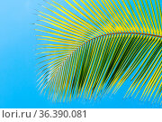 Palm tree leaf frond on blue clean sky background at tropical climate. Стоковое фото, фотограф Zoonar.com/Iryna Rasko / easy Fotostock / Фотобанк Лори