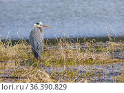 A large great blue heron stands in a marsh area in Hauser, Idaho. Стоковое фото, фотограф Zoonar.com/Gregory Johnston / easy Fotostock / Фотобанк Лори