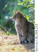 Europaeische Wildkatze ,Felis silvestris, European Wildcat. Стоковое фото, фотограф Zoonar.com/CHRISTOPHBOSCH@GMX.DE / easy Fotostock / Фотобанк Лори