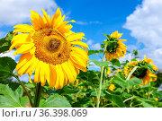 Beautiful yellow sunflowers against the blue sky background. Стоковое фото, фотограф Zoonar.com/Alexander Blinov / easy Fotostock / Фотобанк Лори