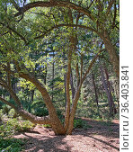 Дуб пробковый (Quercus suber) Стоковое фото, фотограф Мария Кылосова / Фотобанк Лори