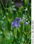 Akelei in Blumenbeet - Columbine in flower bed. Стоковое фото, фотограф Zoonar.com/lantapix / easy Fotostock / Фотобанк Лори