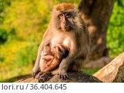 A monkey with a cub sit on a stone in the park. Стоковое фото, фотограф Zoonar.com/Mikhail Pavlov / easy Fotostock / Фотобанк Лори