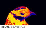 Reeve's Pheasant (Syrmaticus reevesii, male) in scientific high-tech... Стоковое фото, фотограф Zoonar.com/Maximilian Buzun / easy Fotostock / Фотобанк Лори