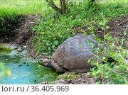 Galapagos-Riesenschildkröte (Chelonoidis nigra ssp) am Tümpel, Insel... Стоковое фото, фотограф Zoonar.com/Mike / easy Fotostock / Фотобанк Лори