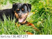 Funny Hapy Young Black Rottweiler Metzgerhund Puppy Dog Smiling In... Стоковое фото, фотограф Ryhor Bruyeu / easy Fotostock / Фотобанк Лори
