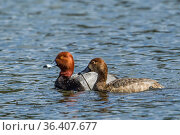 A red head duck couple swim in the water in Hauser, Idaho. Стоковое фото, фотограф Zoonar.com/Gregory Johnston Photography / easy Fotostock / Фотобанк Лори