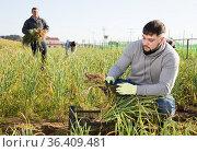 Farm worker arranging green garlic in plastic crate. Стоковое фото, фотограф Яков Филимонов / Фотобанк Лори