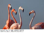 Caribbean flamingo (Phoenicopterus ruber), Ria Lagartos Biosphere Reserve, Yucatan Peninsula, Mexico, September. Стоковое фото, фотограф Claudio Contreras / Nature Picture Library / Фотобанк Лори