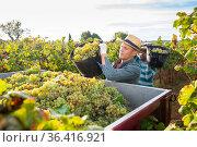 Man picking ripe grapes in truck during harvest in vineyard. Стоковое фото, фотограф Яков Филимонов / Фотобанк Лори