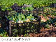Freshly picked chard in boxes on field. Стоковое фото, фотограф Яков Филимонов / Фотобанк Лори