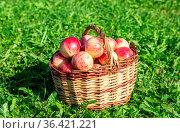 Wooden wicker basket with fresh ripe apples in garden on green grass... Стоковое фото, фотограф Zoonar.com/Alexander Blinov / easy Fotostock / Фотобанк Лори