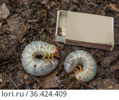 Личинки майского жука. Показан размер. Стоковое фото, фотограф Александр Романов / Фотобанк Лори
