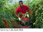 Aframerican gardener stacking boxes with cherry tomatoes in greenhouse. Стоковое фото, фотограф Яков Филимонов / Фотобанк Лори