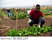 African man cultivating vegetables in kitchen garden. Стоковое фото, фотограф Яков Филимонов / Фотобанк Лори