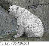 Young polar bear (Ursus maritimus) sitting. Стоковое фото, фотограф Валерия Попова / Фотобанк Лори