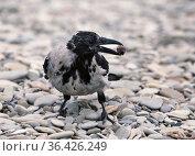 Ворона держит орех в клюве. Стоковое фото, фотограф Dmitry29 / Фотобанк Лори