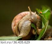 Roman snail aka Burgundy snail, edible snail, or escargot - Helix... Стоковое фото, фотограф Zoonar.com/Lillian Tveit / easy Fotostock / Фотобанк Лори