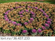 Zierkohl im Blumenbeet. Стоковое фото, фотограф Zoonar.com/Dr. Lange / easy Fotostock / Фотобанк Лори