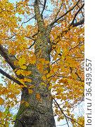 Дуб красный (Quercus rubra L.) осенью. Ствол и фрагмент кроны на фоне неба. Стоковое фото, фотограф Ирина Борсученко / Фотобанк Лори