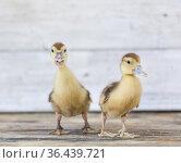 little ducklings on wood planks. Стоковое фото, фотограф Типляшина Евгения / Фотобанк Лори