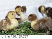 little ducklings on grass. Стоковое фото, фотограф Типляшина Евгения / Фотобанк Лори