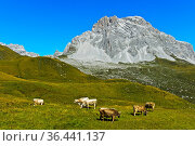 Kühe auf Bergweide vor der Sulzfluh, St. Antönien, Prättigau, Graubünden... Стоковое фото, фотограф Zoonar.com/Mike / easy Fotostock / Фотобанк Лори