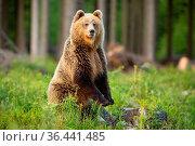 Brown bear, ursus arctos, standing on rear legs upright in forest... Стоковое фото, фотограф Zoonar.com/Jakub Mrocek / easy Fotostock / Фотобанк Лори
