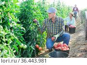 Skilled farmer harvesting ripe tomatoes on farm field. Стоковое фото, фотограф Яков Филимонов / Фотобанк Лори