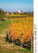Weinberg im Herbst bei Oggau im Burgenland. Стоковое фото, фотограф Zoonar.com/Ewald Fr / easy Fotostock / Фотобанк Лори