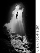 Black and white photo of a silhouette of a California sea lion (Zalophus californianus) pup in an underwater cavern with sun beams. Los Islotes, La Paz... Стоковое фото, фотограф Alex Mustard / Nature Picture Library / Фотобанк Лори