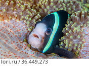 Portrait of a Clark's anemonefish (Amphiprion clarkii) in a sea anemone on a coral reef. Dauin, Dauin Marine Protected Area, Dumaguete, Negros... Стоковое фото, фотограф Alex Mustard / Nature Picture Library / Фотобанк Лори