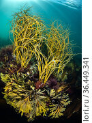Seaweeds in shallow water, with thongweed (Himanthalia elongata) growing over serrated wrack (Fucus serratus). Falmouth, Cornwall, England, United Kingdom. British Isles. North East Atlantic Ocean. Стоковое фото, фотограф Alex Mustard / Nature Picture Library / Фотобанк Лори