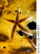Common starfish (Asterias rubens) backlit on a frond of sugar kelp (Laminaria saccharina). Kinlochbervie, Sutherland, The Highlands, Scotland, United Kingdom... Стоковое фото, фотограф Alex Mustard / Nature Picture Library / Фотобанк Лори