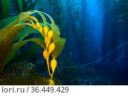 Air-filled bladders of Giant kelp (Macrocystis pyrifera) help a new plant reach up towards the surface. Santa Barbara Island, Channel Islands. Los Angeles... Стоковое фото, фотограф Alex Mustard / Nature Picture Library / Фотобанк Лори