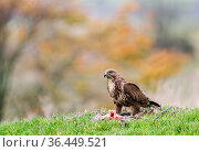 Common buzzard (Buteo buteo) feeding on ground, , Castell-y-bwch, Newport, South Wales, UK. October. Стоковое фото, фотограф David Pike / Nature Picture Library / Фотобанк Лори