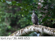 Blyth's hawk-eagle (Nisaetus alboniger) Sabah, Malaysian Borneo. Стоковое фото, фотограф Ben Cranke / Nature Picture Library / Фотобанк Лори