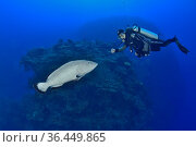 Black grouper (Mycteroperca bonaci) on the reef facing a diver, The Gardens of the Queen, Cuba, Caribbean Sea. Model released. Стоковое фото, фотограф Pascal Kobeh / Nature Picture Library / Фотобанк Лори