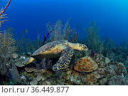 Green turtle (Chelonia mydas) on the reef, The Gardens of the Queen, Cuba, Caribbean Sea. Стоковое фото, фотограф Pascal Kobeh / Nature Picture Library / Фотобанк Лори
