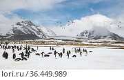 King penguins (Aptenodytes patagonicus) congregate to rest, while a flock of South Georgia pintail (Anas georgica georgica) fly overhead. St Andrew's Bay, South Georgia Island. Стоковое фото, фотограф Ben Cranke / Nature Picture Library / Фотобанк Лори