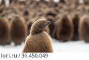 King penguin (Aptenodytes patagonicus) chick in front of creche, Fortuna Bay, South Georgia Island. Стоковое фото, фотограф Ben Cranke / Nature Picture Library / Фотобанк Лори