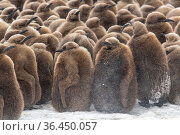 King penguin (Aptenodytes patagonicus) chicks gathered in a creche, obscurred by windblown spindrift. Fortuna Bay, South Georgia Island. Стоковое фото, фотограф Ben Cranke / Nature Picture Library / Фотобанк Лори
