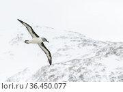 Grey-headed albatross (Thalassarche chrysostoma) flying over Elsehul Bay, South Georgia Island. Стоковое фото, фотограф Ben Cranke / Nature Picture Library / Фотобанк Лори